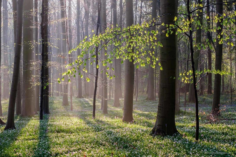 Photography Workshop - Hallerbos - Belgium - Lots of white anemones cover the ground of the Hallerbos forest in early spring - Blooming Woodlands