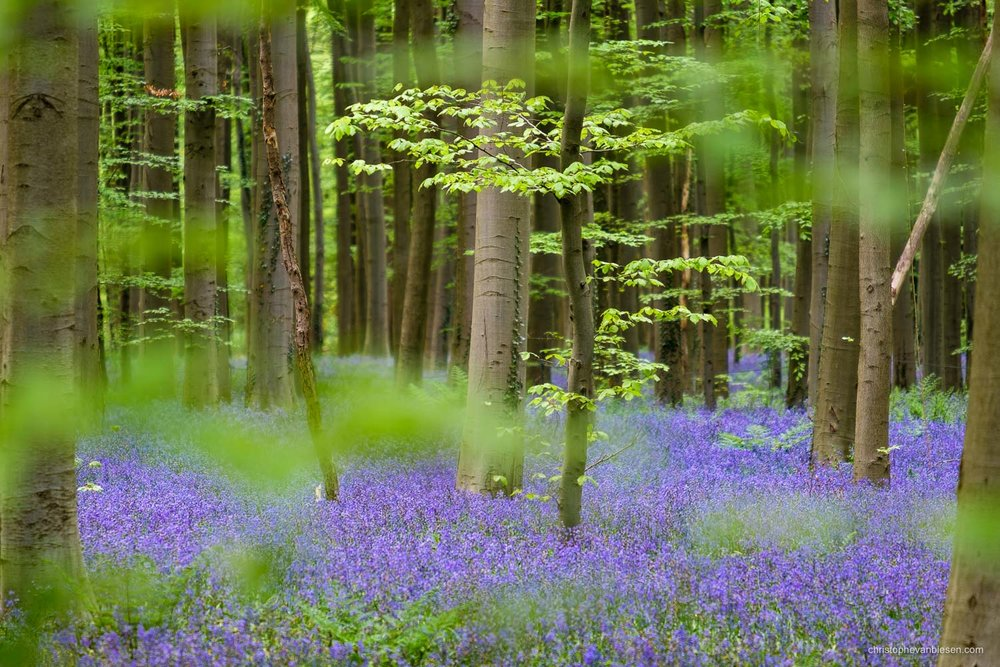 Photography Workshop - Hallerbos - Belgium - Young beech tree above a carpet of bluebells in the Hallerbos - A Peek into Fairyland