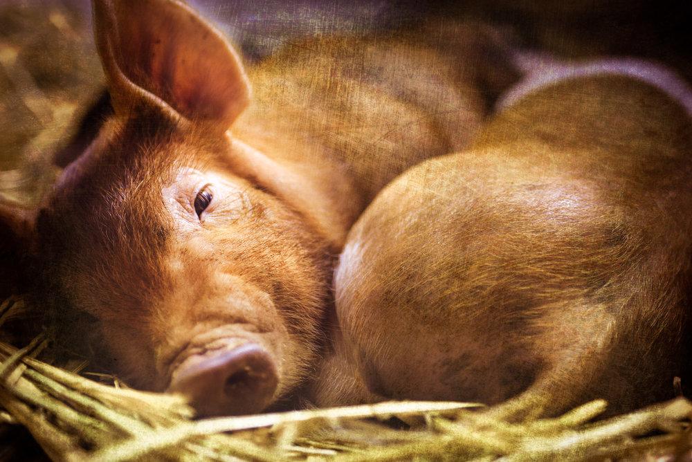 Tarradellas-Piggies.jpg