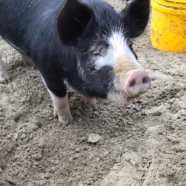 Berkshire piggies. #cchfarm #berkshirepiglets #kurabotapork