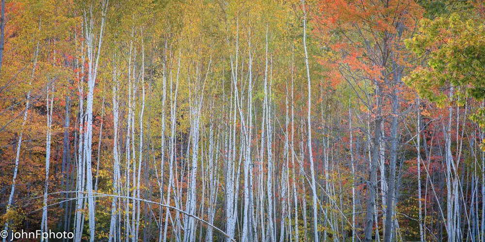 Whiteface Hollow Birch Trees
