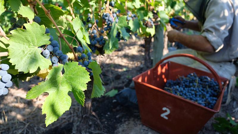 Argentina's Vintners Say 2018 Harvest Delivers Best Quality Since 2013