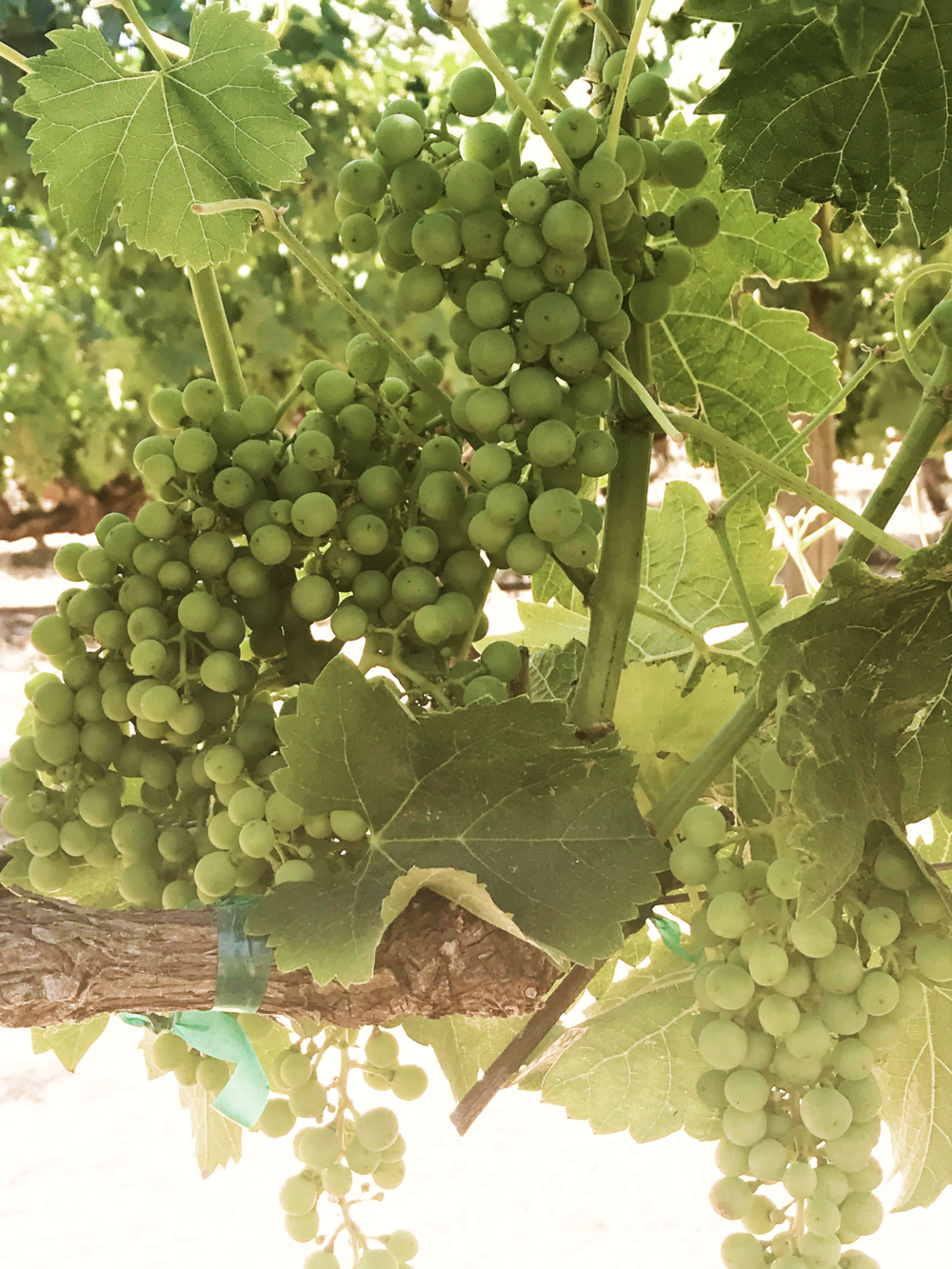 Cline Family Honors Natural Wine Growing