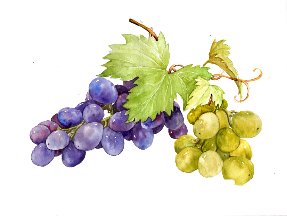 kisspng-grape-watercolor-painting-sweetness-grape-picture-material-5a98d4e1897e35.5282201115199654095632.png