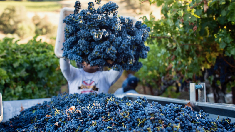 2018 Wine Harvest Report: Sonoma Sings of an Ideal Year
