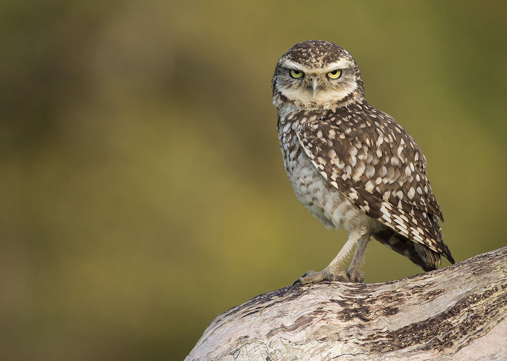 burrowing_owl1.jpg