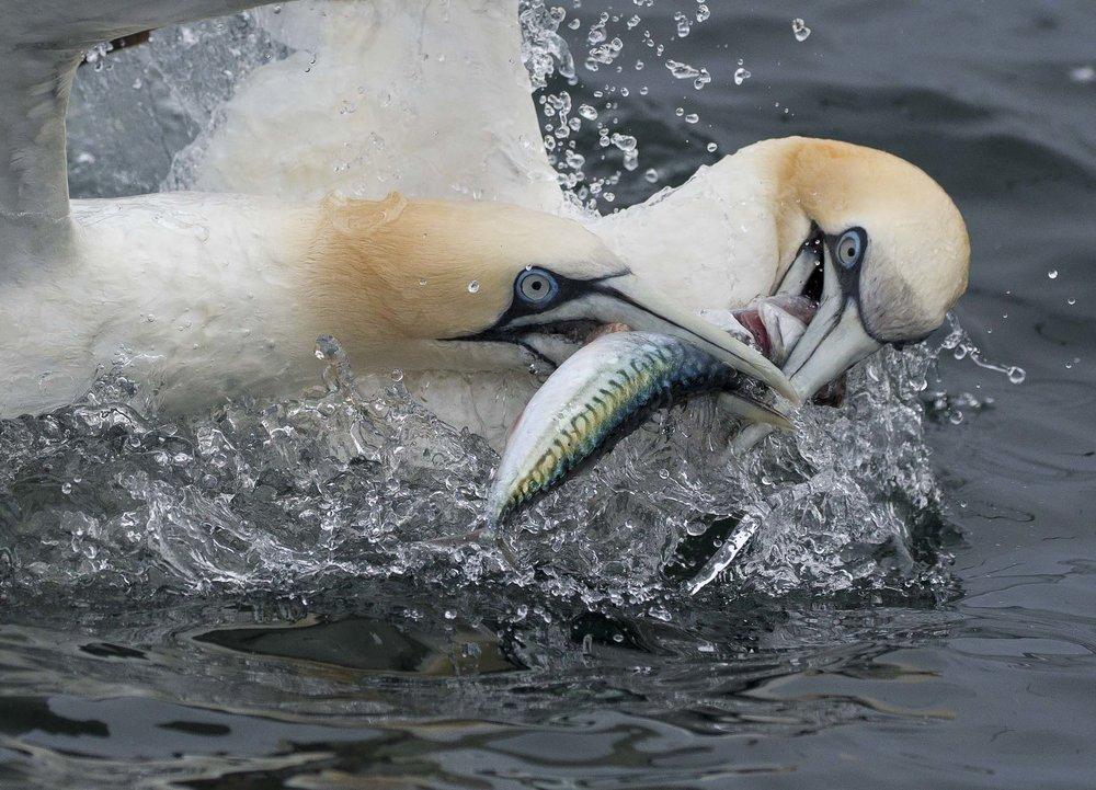 gannets2.jpg
