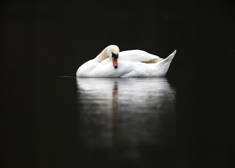 mute_swan1.jpg