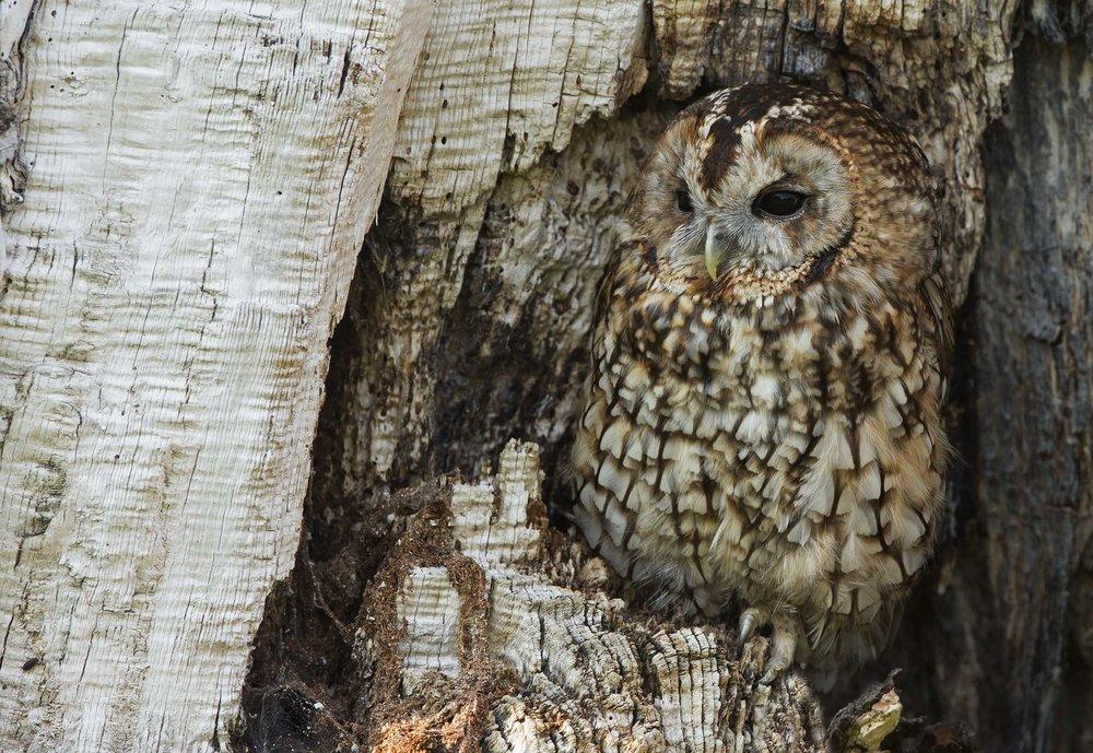 tawny_owl1.jpg