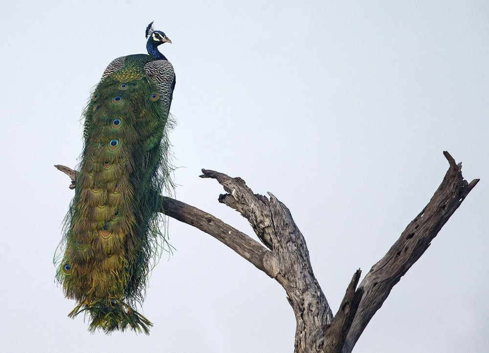 indian_peafowl2_hr.jpg