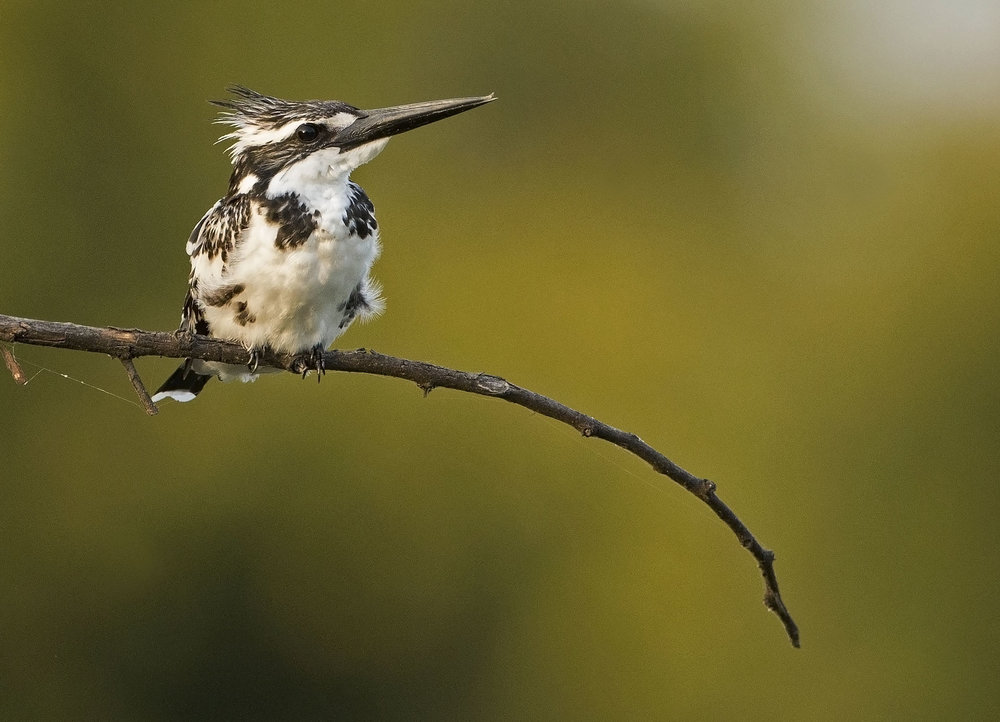 pied_kingfisher1_hr.jpg
