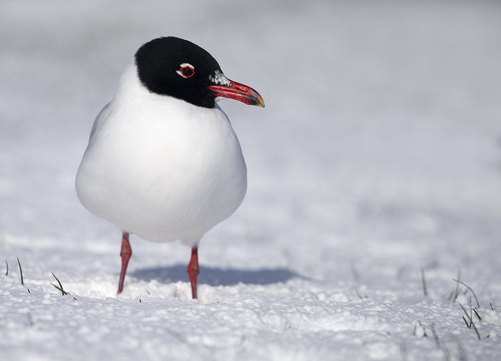 Mediterranean Gull (adult summer)