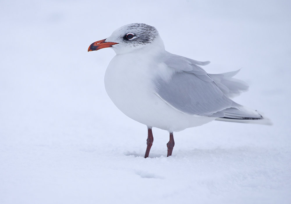 Mediterranean Gull (adult winter)