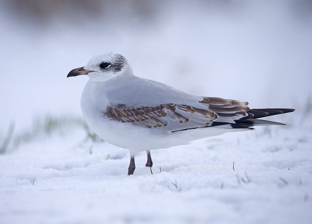 Mediterranean Gull (1st winter)