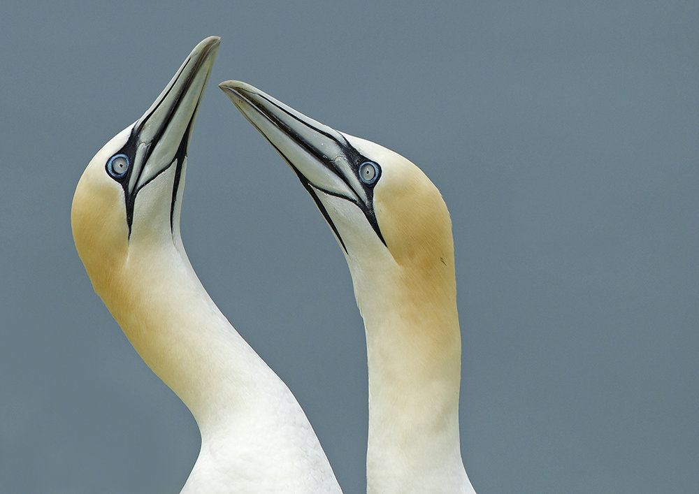 gannets1 (2).jpg