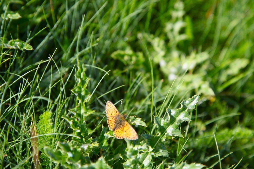 butterfly IMG_1138.jpg