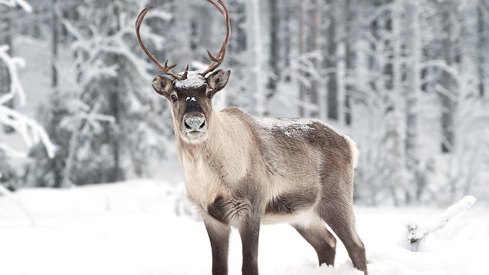 reindeer-lapland-2.jpg