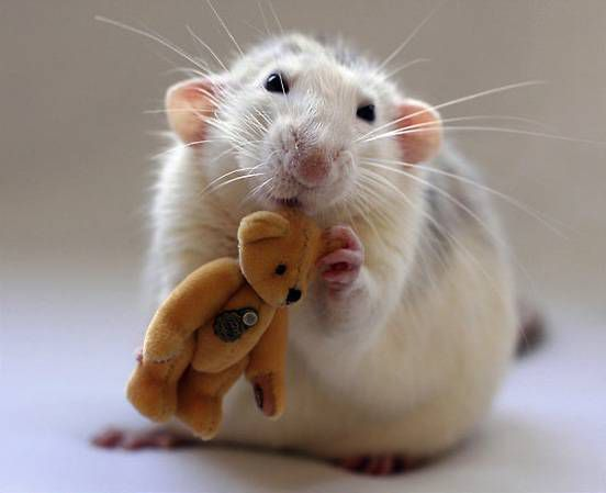 white-rat-golden-teddy.jpg.838x0_q80.jpg