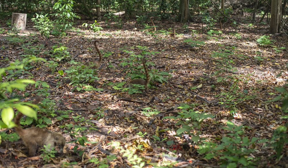 this isn't a life changing award-winning image, but it's to show you that everywhere we looked in the park we could see dozens of coatis at any given time, snuffling in the leaves for ants