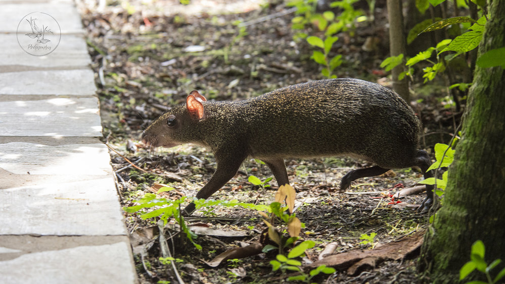 agouti running around the hotel, one of many