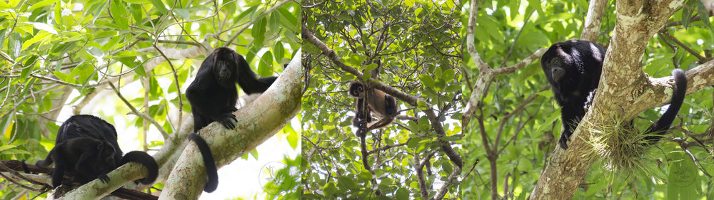 monkeys of Yaxchilan: a family of howlers, a cheeky spider monkey, and a menacing looking howler - made a LOT of noise - they sound like dinosaurs roaring
