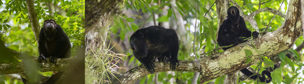 monkeys of Yaxchilan: they are JUST SO COOL