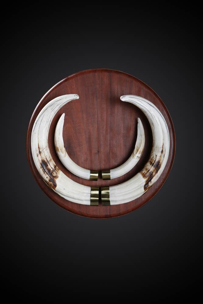 Warthog tusks.jpg