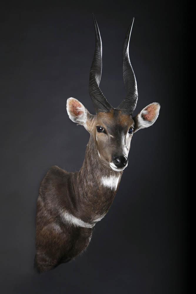 Bushbuck Shoulder.jpg