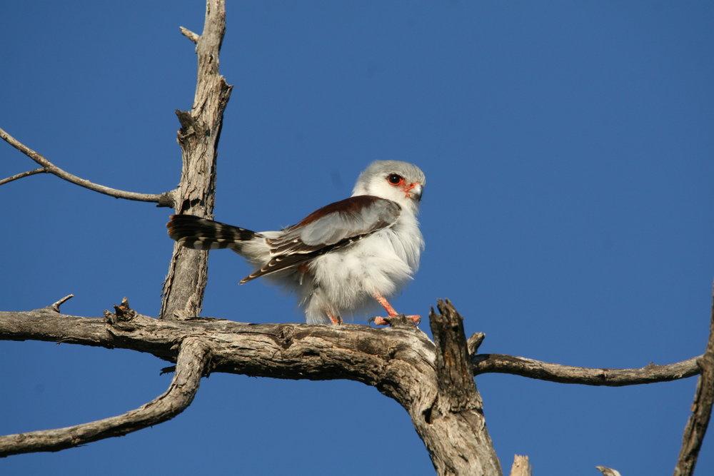 Pigmy Falcon.JPG