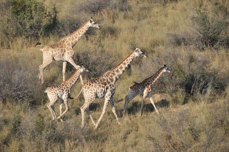 Hunt Sout Africa Kalahari Lion hunting116.JPG
