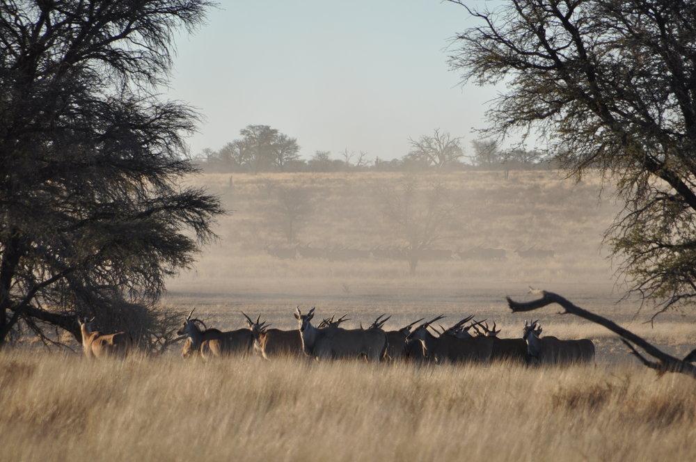 hunt in africa eland.jpg