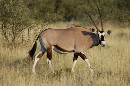 451px-Oryx_gazella_-Etosha_National_Park,_Namibia-8.jpg
