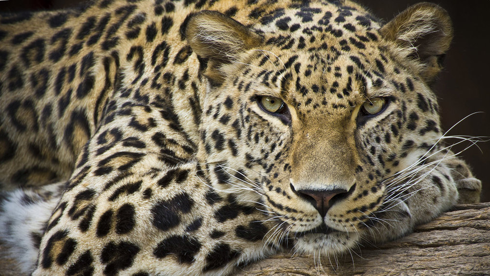 LEOPARD HUNTING -