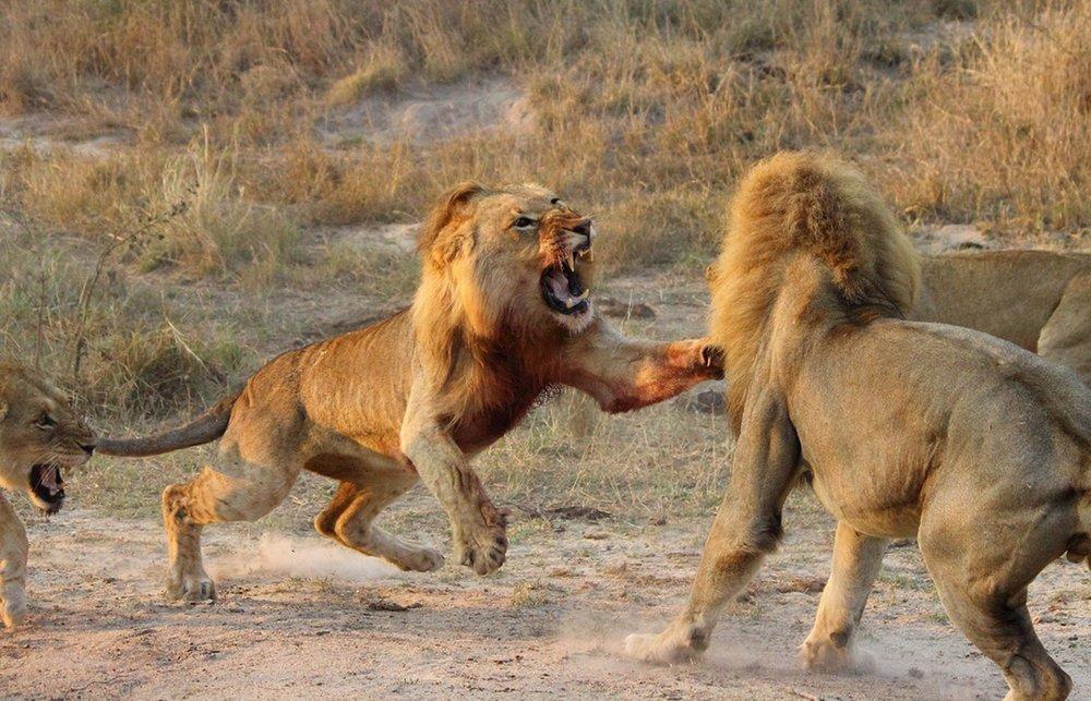 lion hunting -