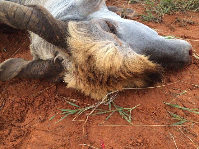 Hunt in Africa 41.jpg