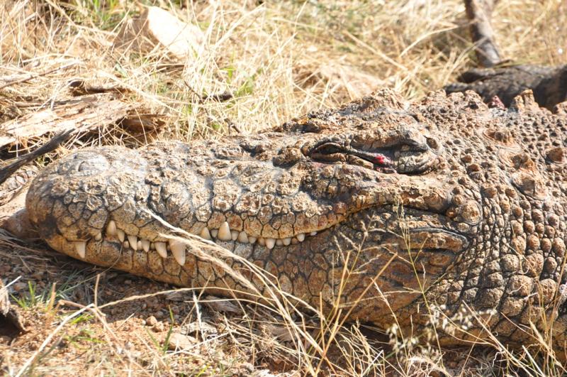 Crocodile7.jpg