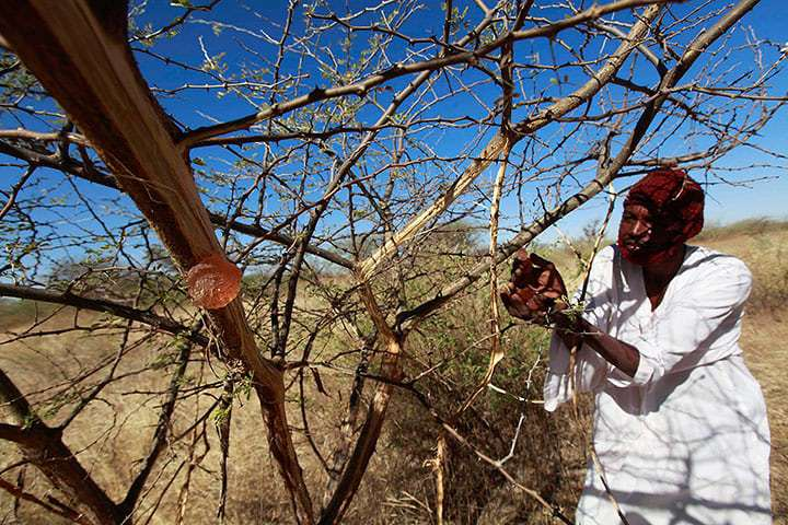 Gum arabic is a rare export success story in the Sudanese agricultural state of North Kordofan. Photograph: Mohamed Nureldin Abdallah/Reuters.