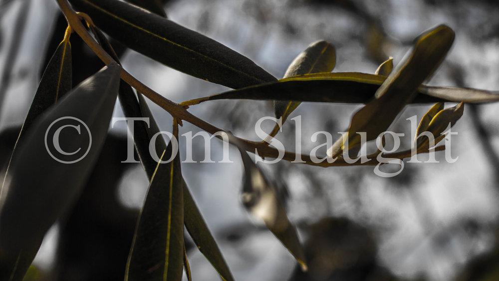 olive tree leaves 2.jpg