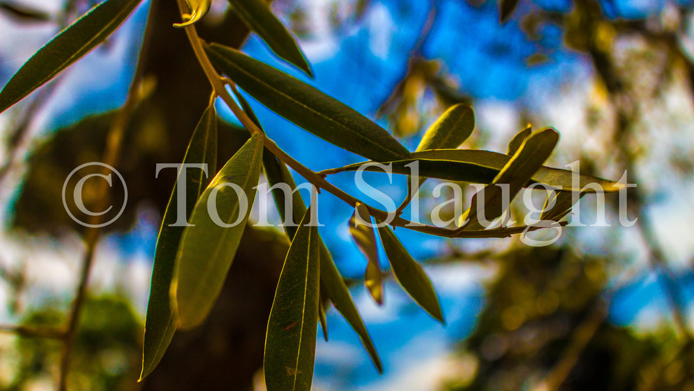 olive tree leaves.jpg