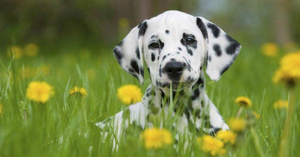 Dalmatian_Puppy.jpg