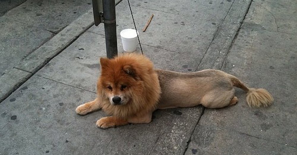 Dog looks like lion.jpg