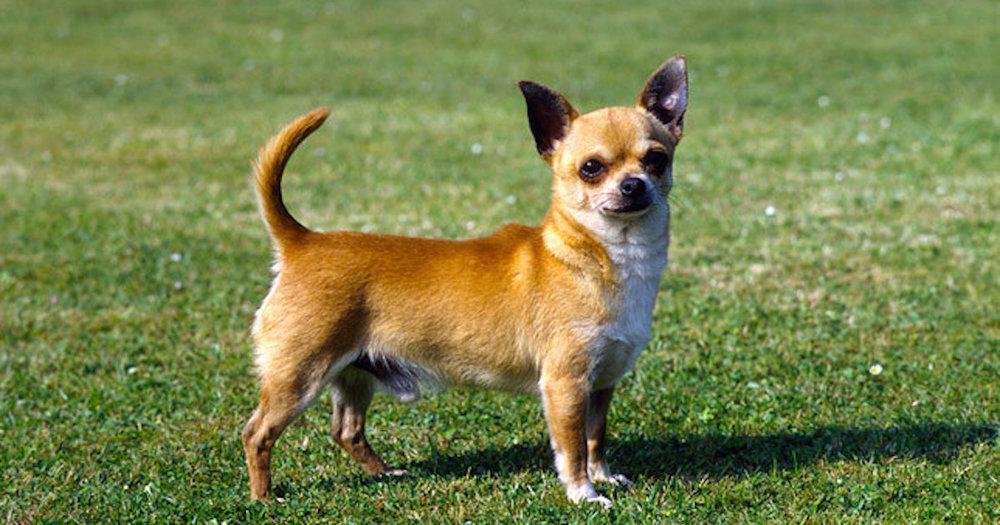 Chihuahua Fluent in English AND Spanish.jpg