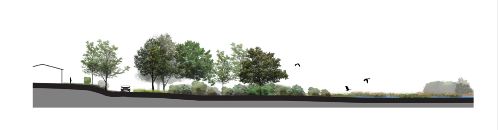 MID-STAGE RESTORATION: A section illustration of upland retreat as the salt marsh is restored.