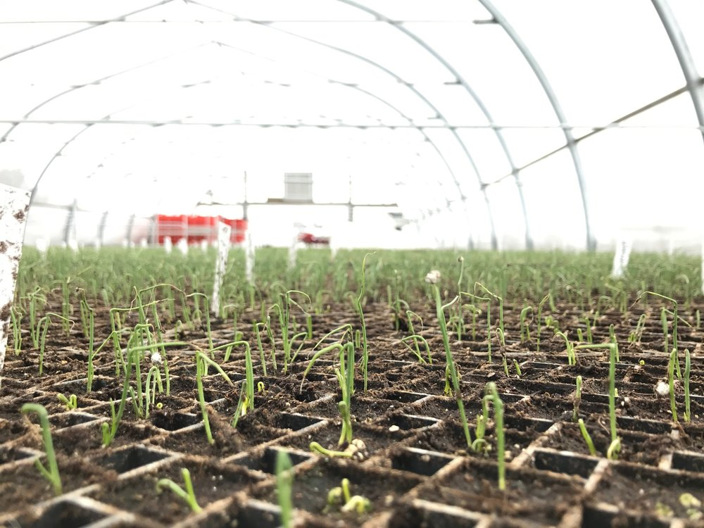baby onion seedlings closeup.jpg