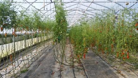 Greenhouse tomato vines.jpg
