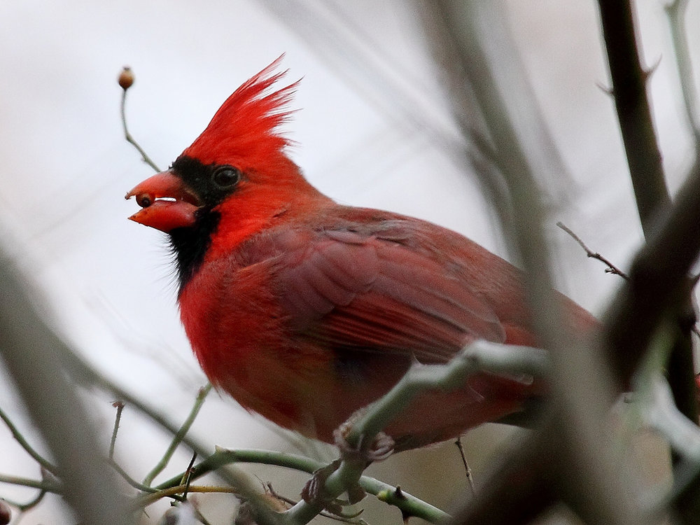 This brilliant red male cardinal loves eating berries from our deciduous hollies.