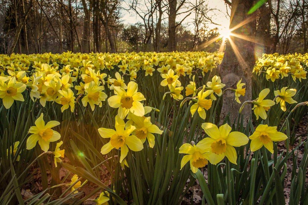 daffodilfield15fns.jpg