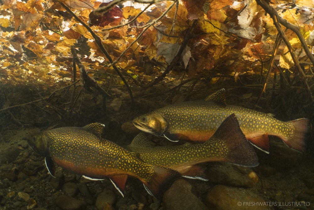 Two male Brook Trout (Salvelinus fontinalis) fight over the opportunity to spawn with a female. Magalloway River, Maine  www.FreshwatersIllustrated.org