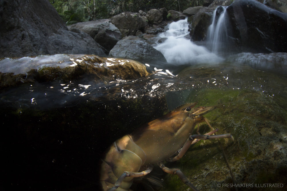 A large freshwater shrimp (Macrobrachium carcinus) precariously navigates up a small cascade in the headwaters of Puerto Rico's El Yunque National Forest. El Yunque NationalForest, Puerto Rico  www.FreshwatersIllustrated.org