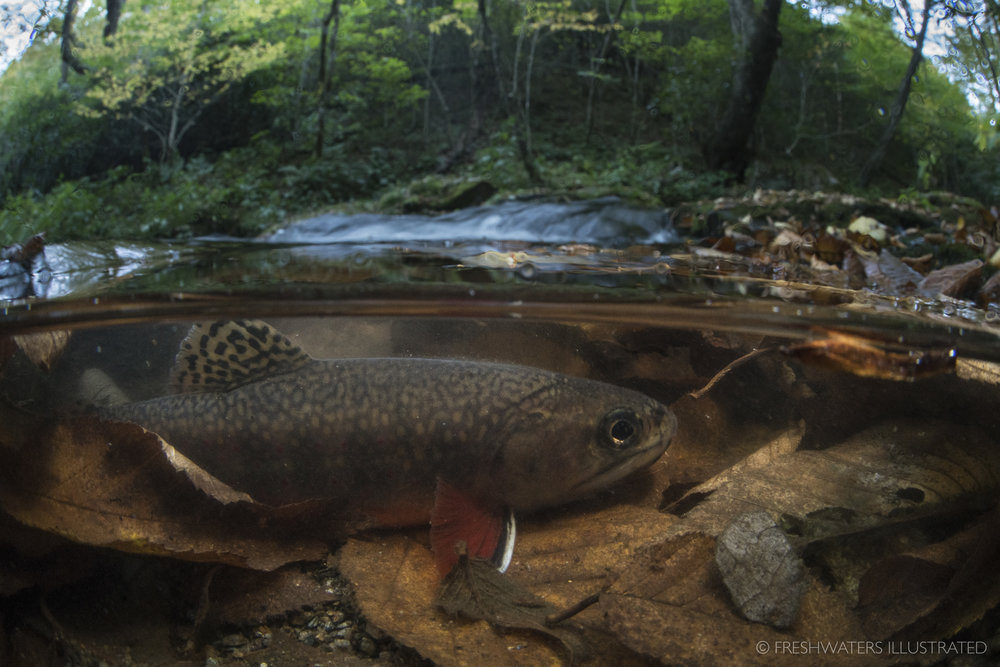 A Southern Appalachian brook trout hides within a layer of freshly fallen leaves in the Great Smoky Mountains National Park. Nearly wiped out, these iconic fish are now making a comeback. Smoky Mountain National Park, Tennessee  www.FreshwatersIllustrated.org